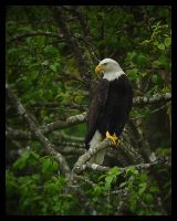 Bald Eagle at Chambers by swashbuckler
