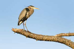 Heron 1 by bovey-photo