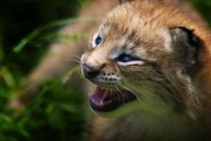 baby lynx by gaythoughts