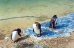 Three Penguins by DaniBrown