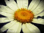 Daisy3 by TaylorFerry