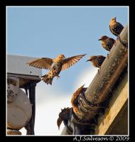 Rooftop Starling by andy-j-s
