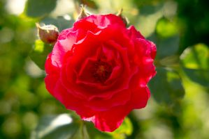 Rose Macro by JessicaDobbs