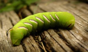 Larva by ClasPhoto