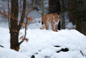 Lynx on the lookout by AlesGola