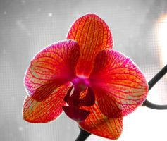 Detailed Orchid Flower by Kitteh-Pawz