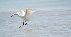 Snowy Egret by BamaBelle2012