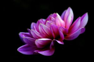 Dahlia in the Dark by andras120