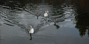 Two ugly ducklings with family by inshadowz