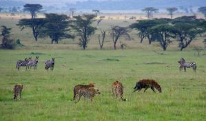 Cheetahs, Hyena, Zebra on Serengeti by tanzafari