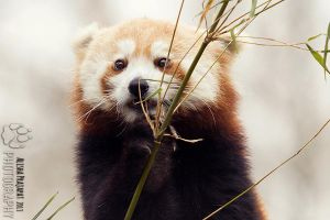 Portrait of Lily, the red panda. by Ravenith