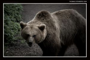 Ursus arctos by tomba76