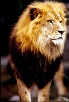 Lion 11 by Art-Photo