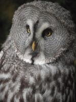 Grey owl by Nicky8