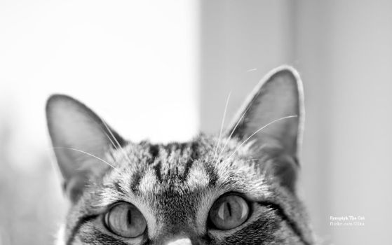 Synoptyk The Cat Wallpaper by olkabe