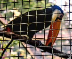 What does a caged bird sing by PartTimeCowboy