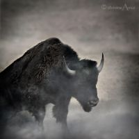 Bison by ChristineAmat