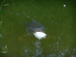 Carp eating a piece of bread by Dams62