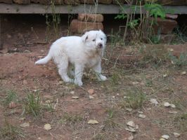 White Border Collie 10 :Stock: by WesternStock