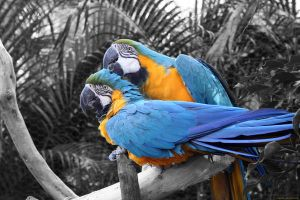 Grooming Macaws by torchdesigns