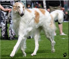 Borzoi and dogshow by Ryoo-09