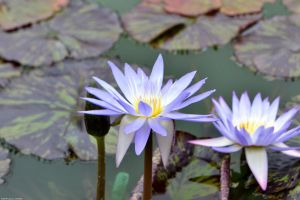 Water Lilies by WickedOwl514
