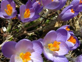 Purple Crocuses 1 by Jenna-RoseStock