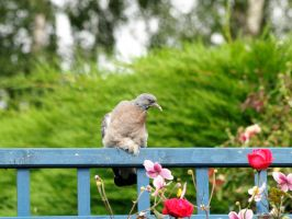 Baby pigeon by piglet365