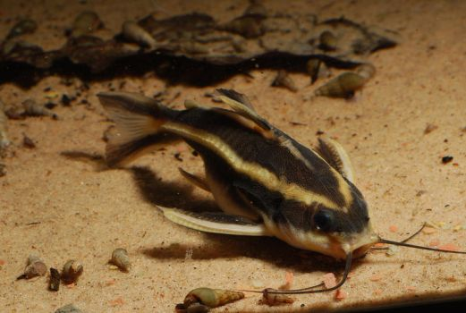 Raphael Catfish on sand by Gobius