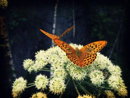 Butterfly on a flower4 by Korolevatumana