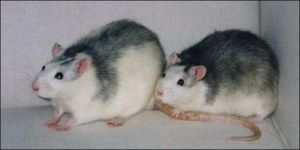 Two rats by BimaFatima