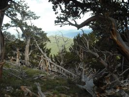 Bristlecone Forest by KlaxonLithology