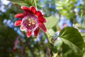 Passion Fruit flower by EyeInFocus