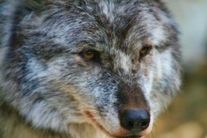 Wolfy by Joe-Lynn-Design