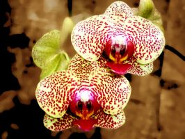 Phalaenopsis cultivar orchid by Litratobyberneserose