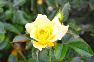 Yellow rose by ShannonCPhotography