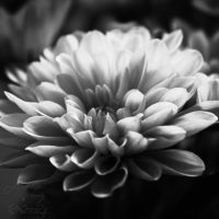 chrysanthemum flower black and white by Nexu4