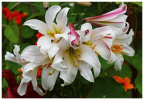 Lilium regale by miss-gardener