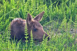 Newborn Moose Calf 1 by MSimpsonPhotos