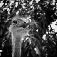 Emu or Ostrich by MichiLauke