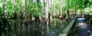 Highlands Hammok Cypress Swamp by Soltis