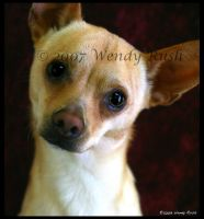 Chico the Chihuahua by IrishRaine