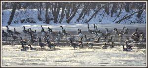 Last Geese of Winter by wagn18