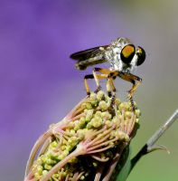 Asilidae on Fennel by duggiehoo