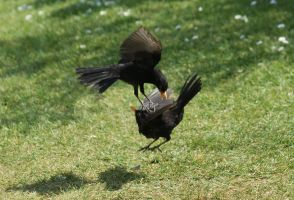 Birds Fighting 2 by Dancing-Earth