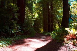 Redwoods For You by Deirdre-T