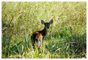 A Fawn by TheMan268