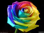Rainbow rose by PaSt1978