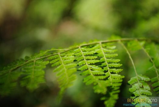 selectivie fern by maxisoft