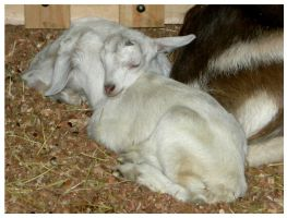 """cabritas """"little goats"""" by tomegatherion"""
